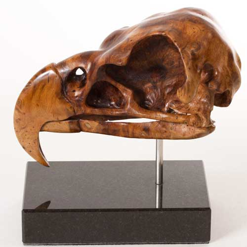 SWLA Harpy Eagle Skull